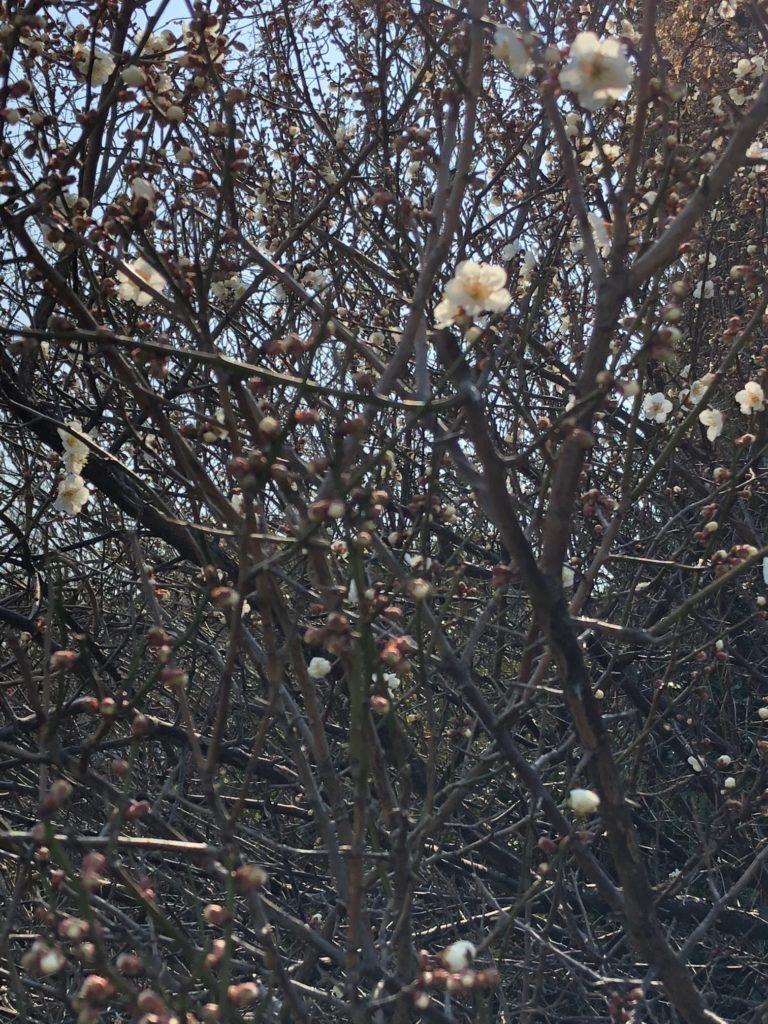 梅の咲き始め
